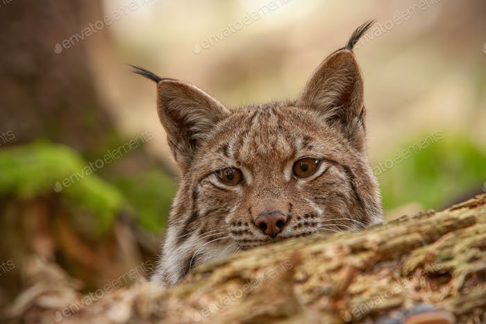 Detailed close-up of hiding adult eursian lynx on a hunt in autmn forest