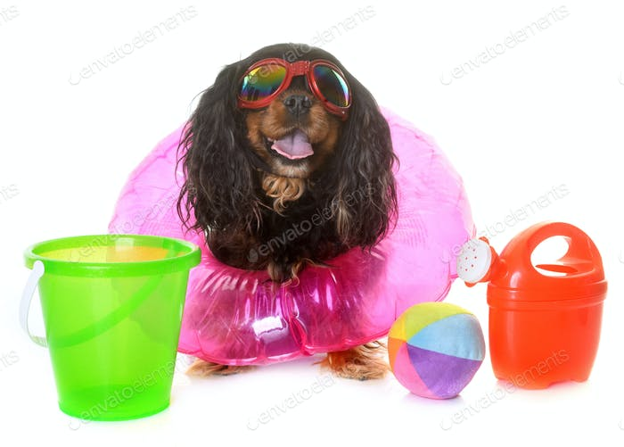 cavalier king charles in summer