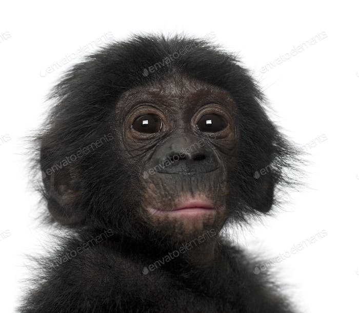 Baby bonobo, Pan paniscus, 4 months old, against white background
