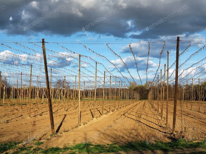 Hop garden - fields for growing hops