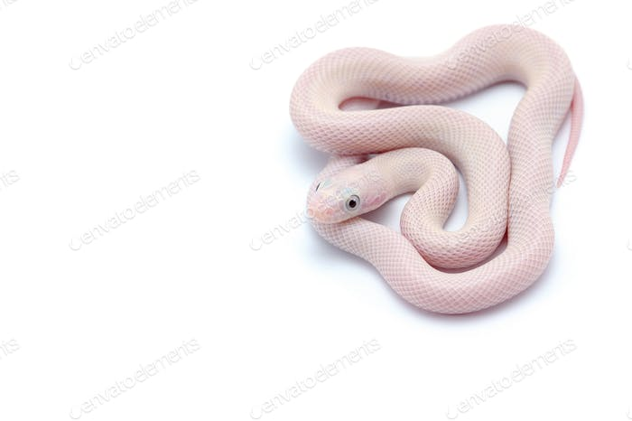 White rat snake isolated on white background