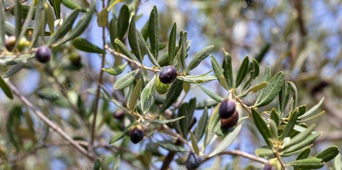 Olivenbaum Zweig mit schwarzen reifen Früchten auf Unschärfe Hintergrund.