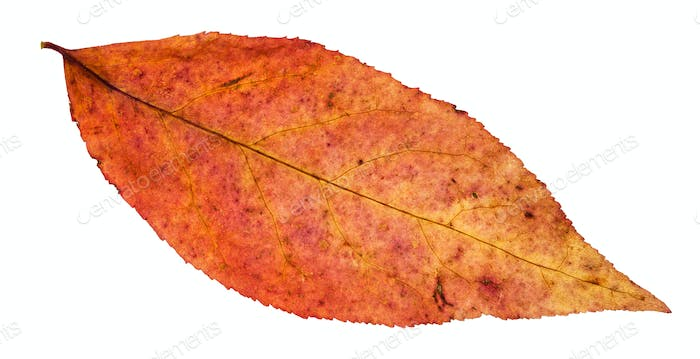 red leaf of willow tree isolated on white