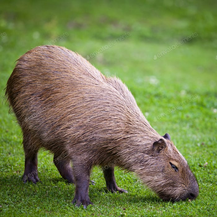 Capybara (Hydrochoerus hydrochaeris) grazing on fresh green gras