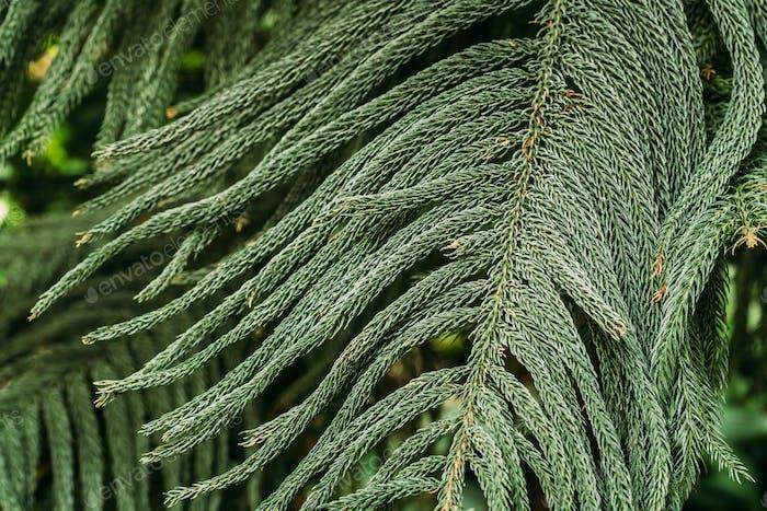 Araucaria Heterophylla Im Botanischen Garten