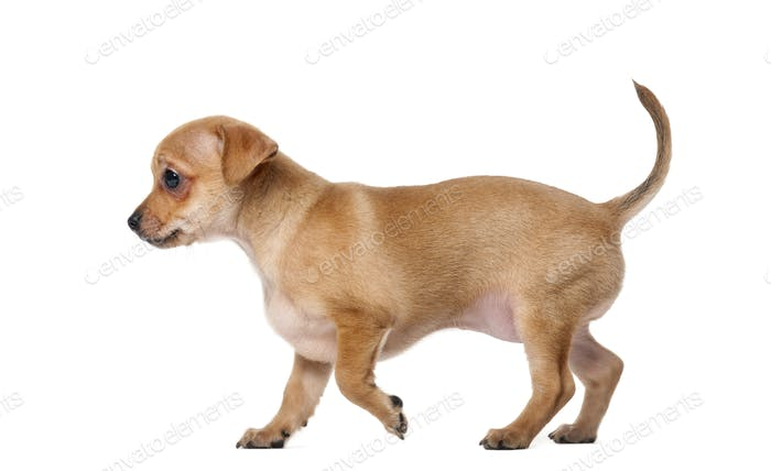 Chihuahua puppy (2 months old) in front of a white background