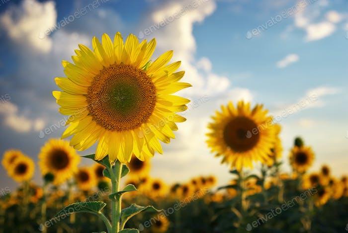 Sonnenblume Porträt