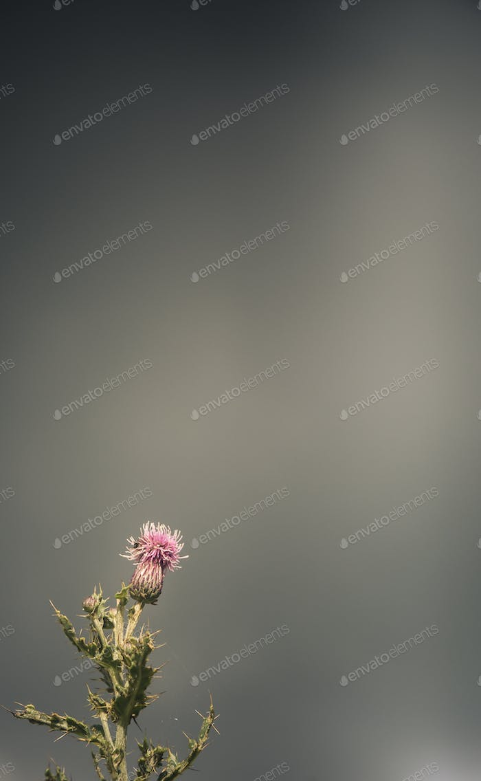 Stormy Scottish Thistle