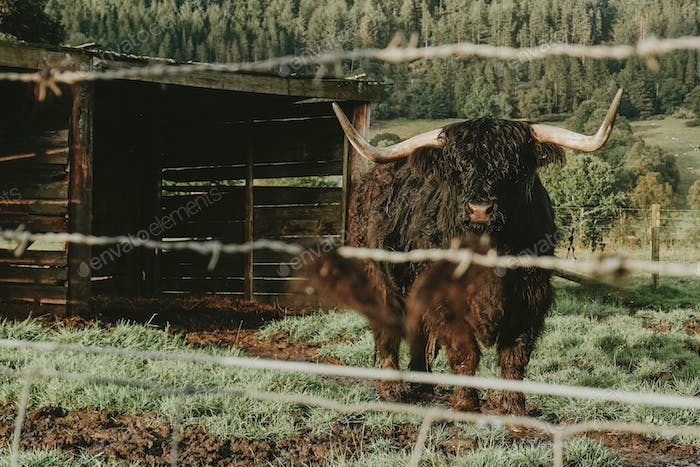 Furry Highland Cattle