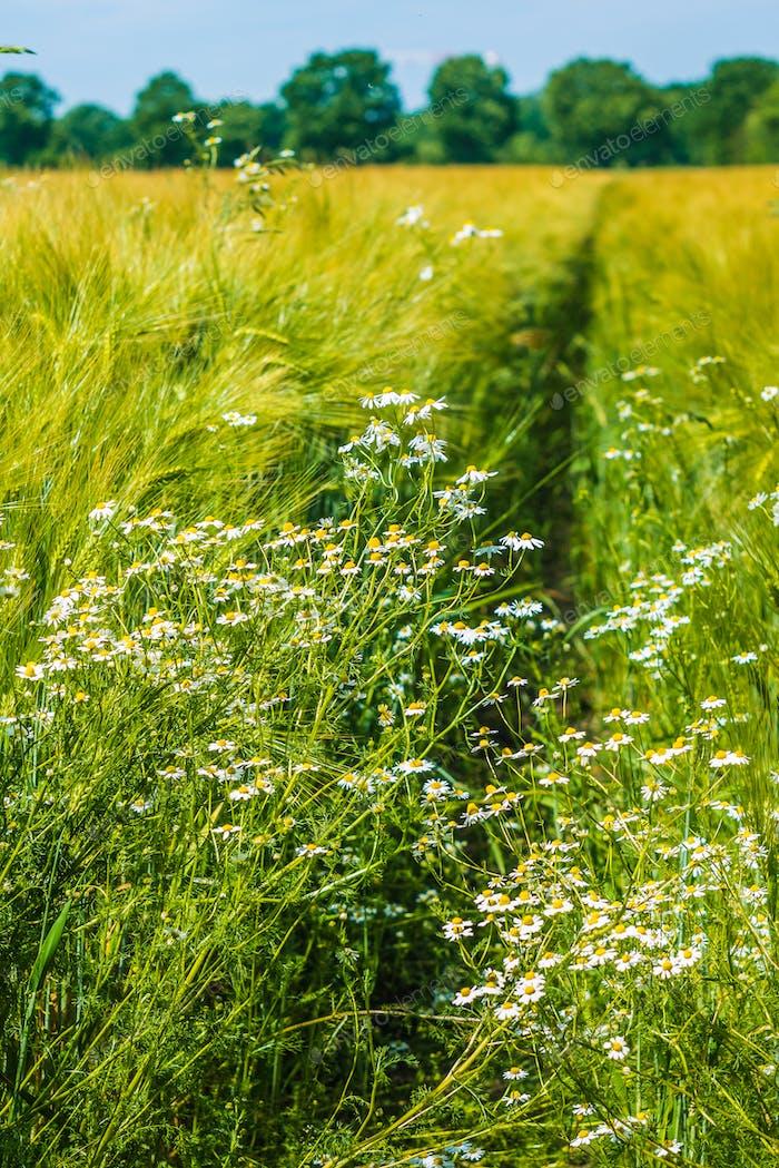 Wilde Kamille auf Wiese und Weizen. Zusammensetzung der Natur