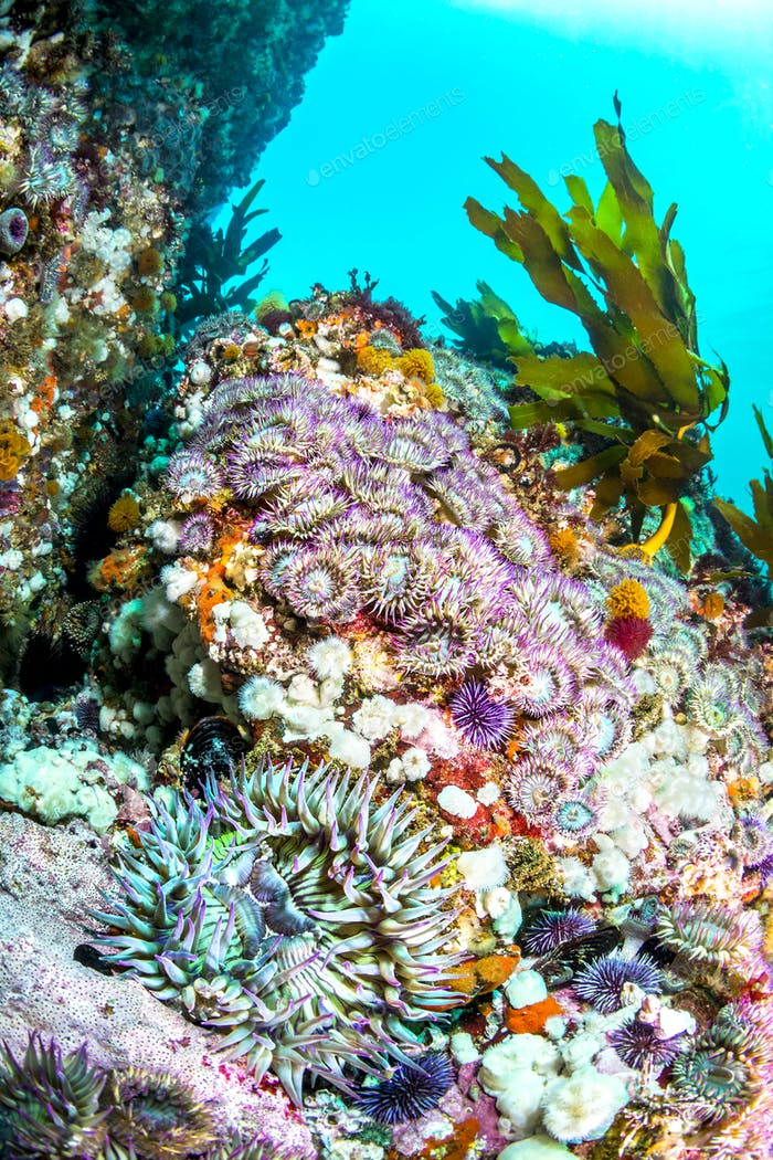 Aggregate Sea anemone bed on reef