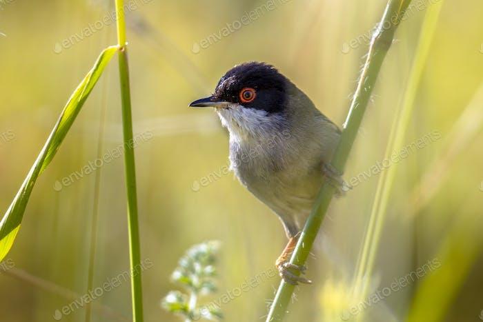 Sardinian warbler perched on stem of grass