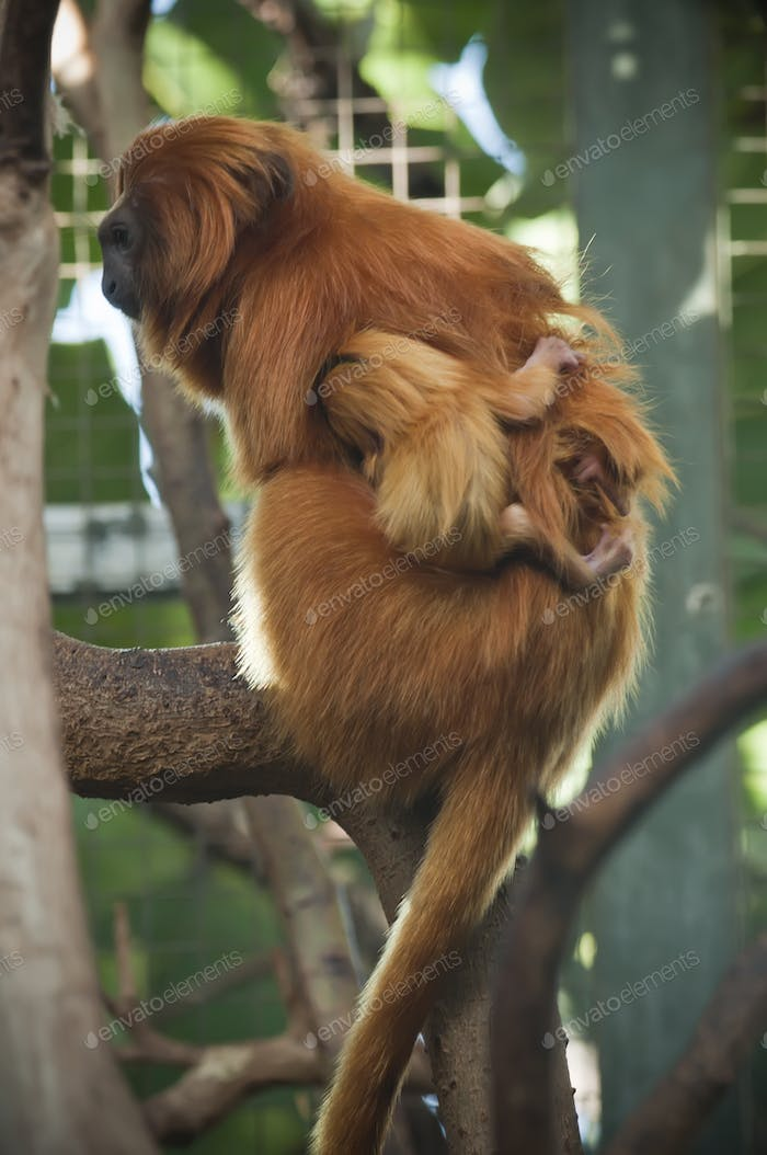 Lion Tamarin Monkeys