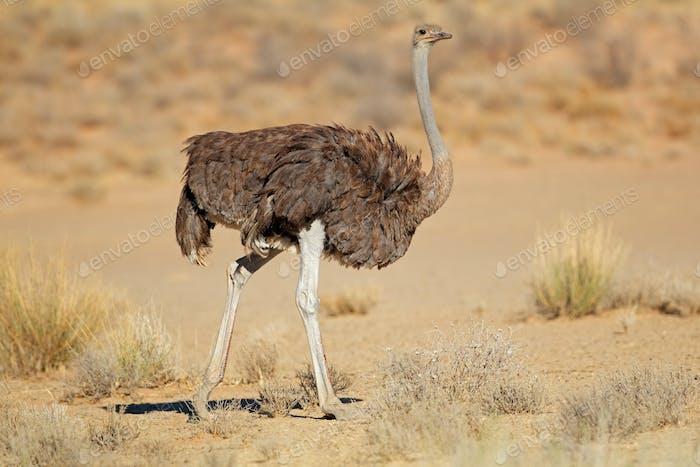 Female ostrich in natural habitat