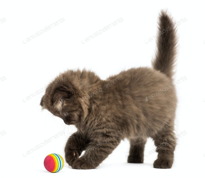 Highland fold kitten standing, playing with a ball, isolated on white