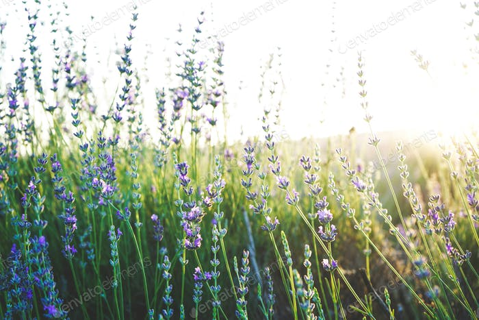 Fresh lavender background with sunlight