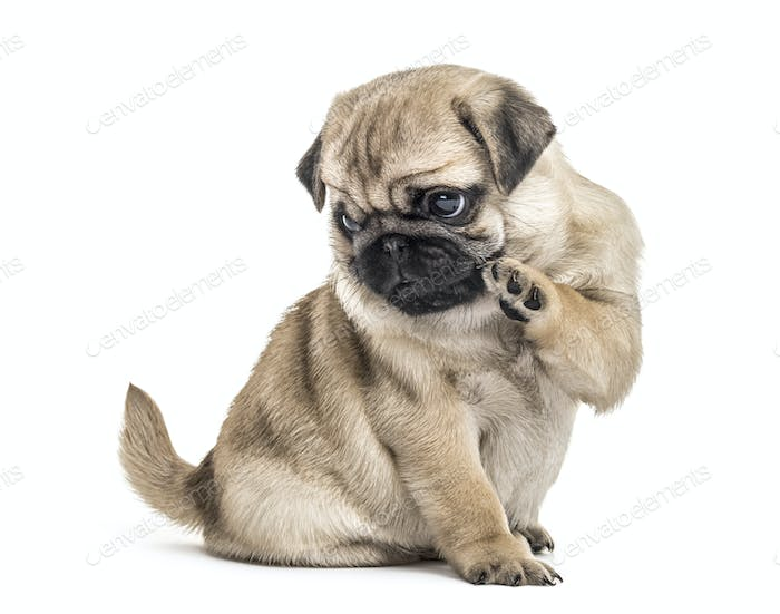 Pug puppy playing, isolated on white