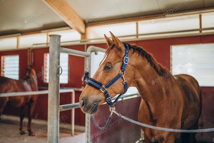 foco selectivo de hermoso caballo marrón con aparejo en estable, Stuttgart, alemania