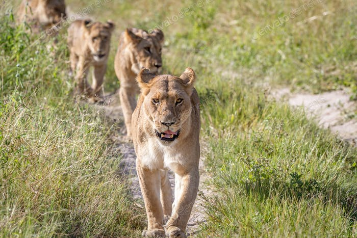 Lions walking towards the camera.