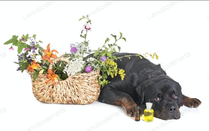 rottweiler and flowers