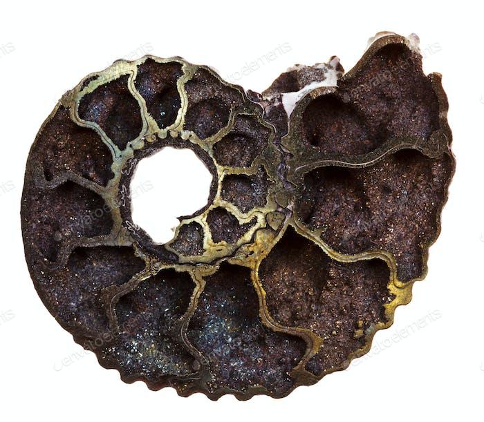 cutoff of fossil ammonite shell