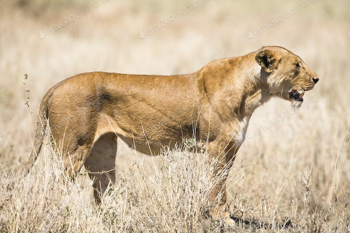 Wild lion looking after prey in Serengeti