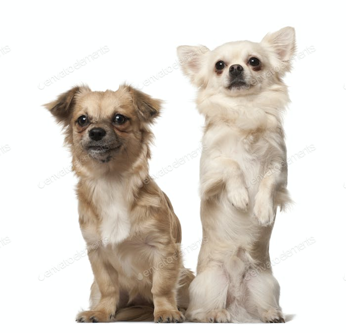 Chihuahua, 18 months old, and Chihuahua puppy, 6 months old, on hind legs