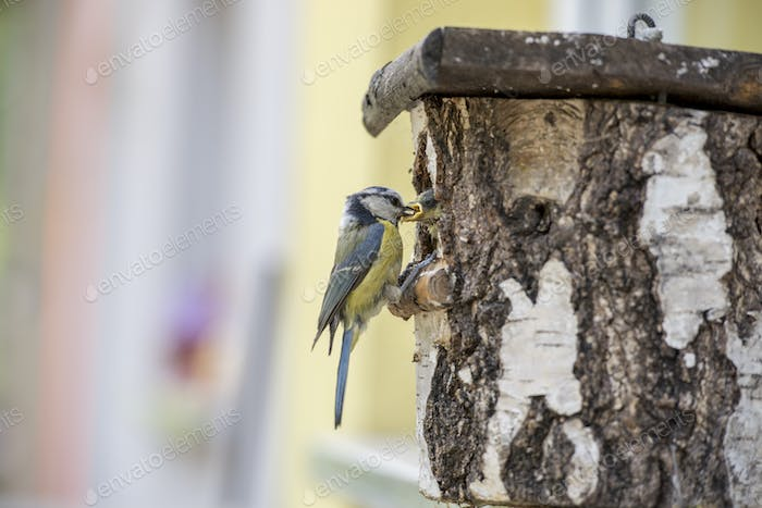 Eurasian Blue Tit at a nesting box