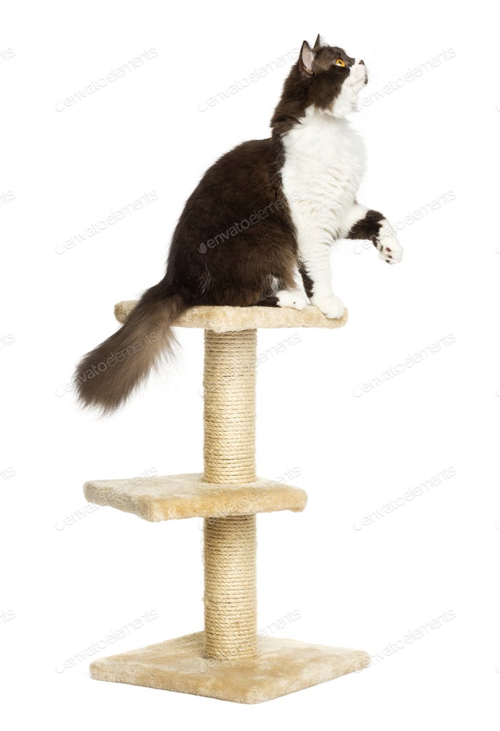 Side view of a British longhair perched on top of a cat tree, isolated on white