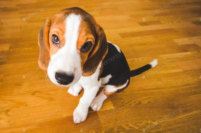 Little sad beagle puppy sits on a wooden floor, looking up.