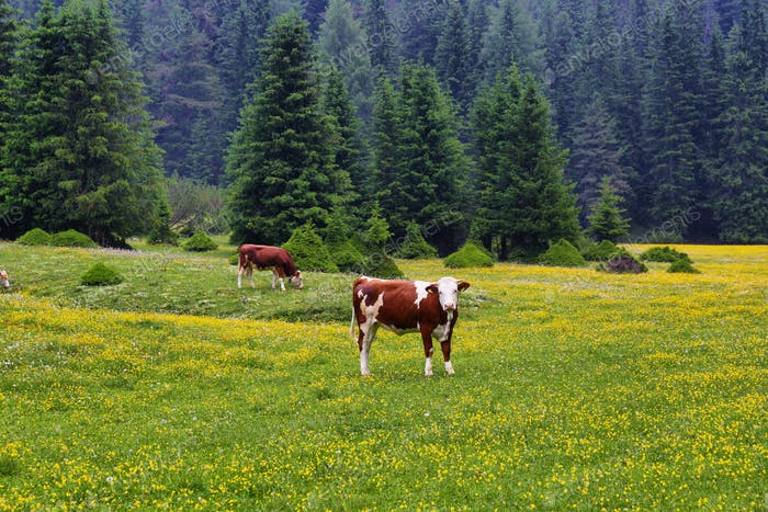 Cow in a field with yellow alpine flowers in Puez-odle nature park in the dolomites, Italy
