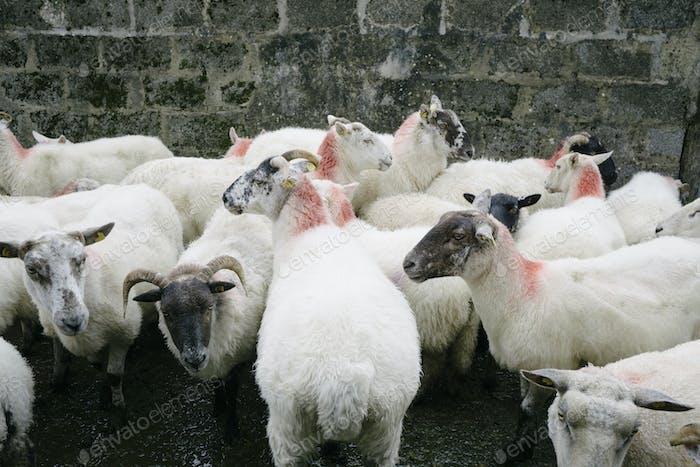 Small herd of sheep on a farm in Glenade, County Leitrim, Ireland.