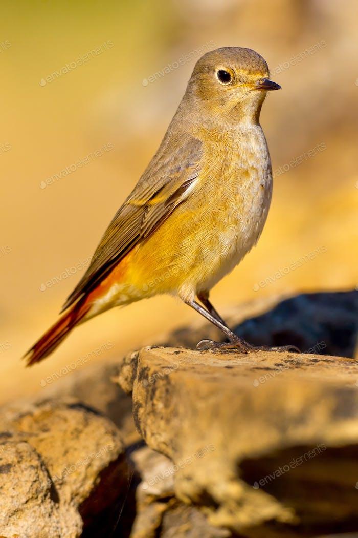 Female Redstart, Mediterranean Forest, Spain