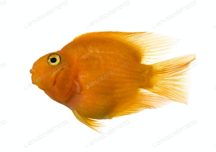 Thumbnail for Side view of a parrotfish isolated on white