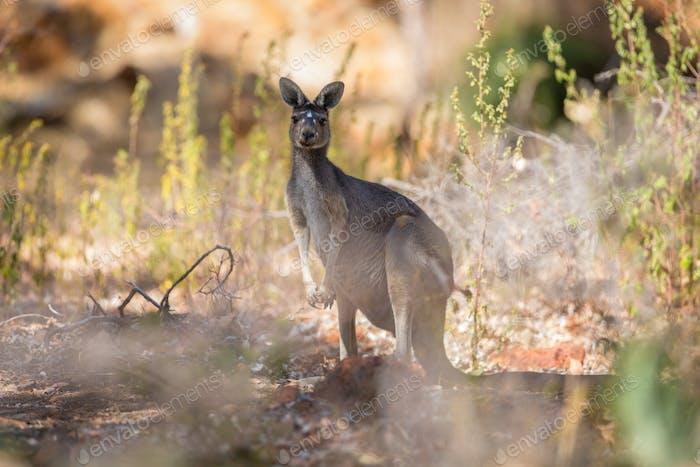 Kangaroo looking