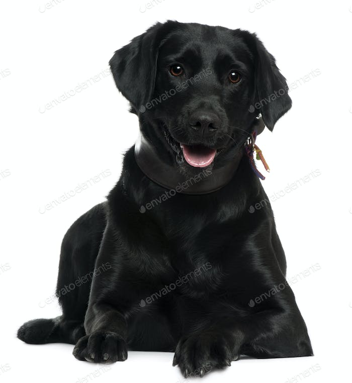 Labrador, 2 years old, lying in front of white background