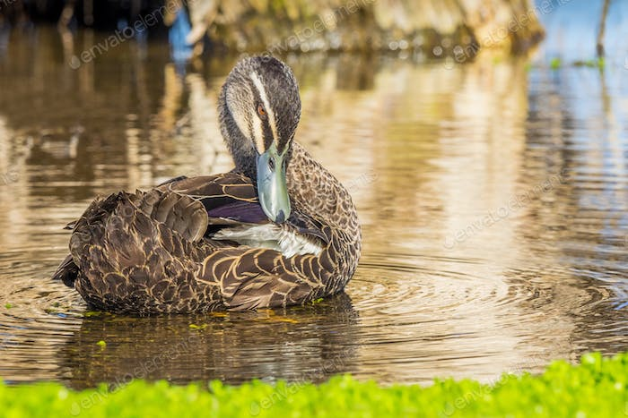 Pacific Black Duck Grooming Itself