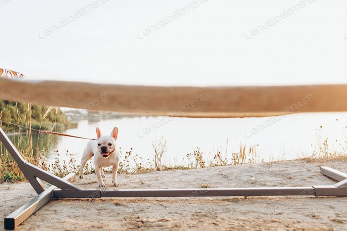 White cute french bulldog