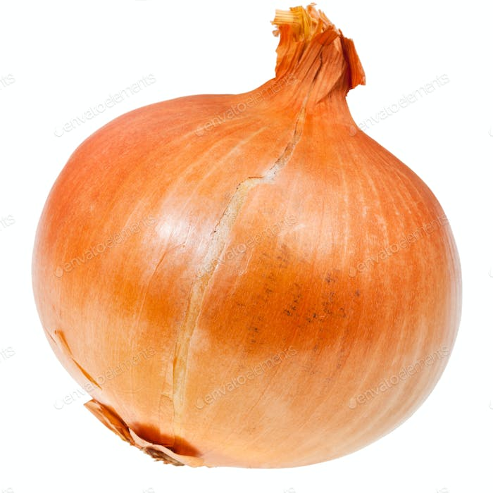 common onion bulb