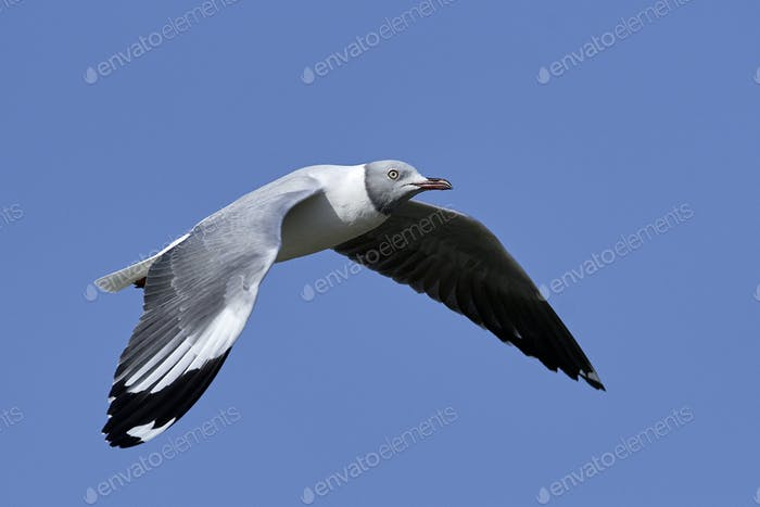 Grey-headed gull (Chroicocephalus cirrocephalus)