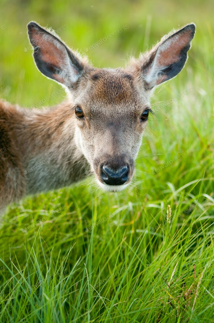 whitetail buck portrait, curiously grazing in the high grass