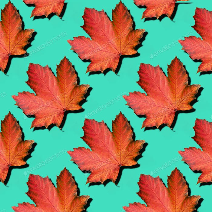 Golden autumn concept. Sunny day, warm weather. Red maple leaf on mint turquoise background with
