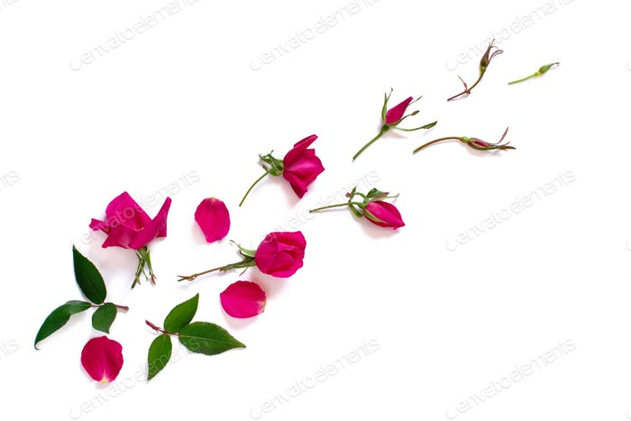 Spring composition with pink roses over white background