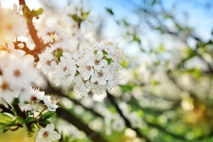 Blumen blühen auf einem Zweig der Birne gegen blauen Himmel