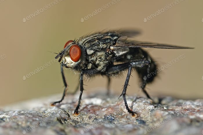 Flesh fly (Sarcophaga)
