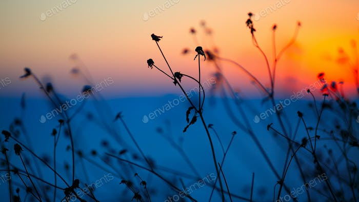 silhouette of dried flowers and plants on a background sunset