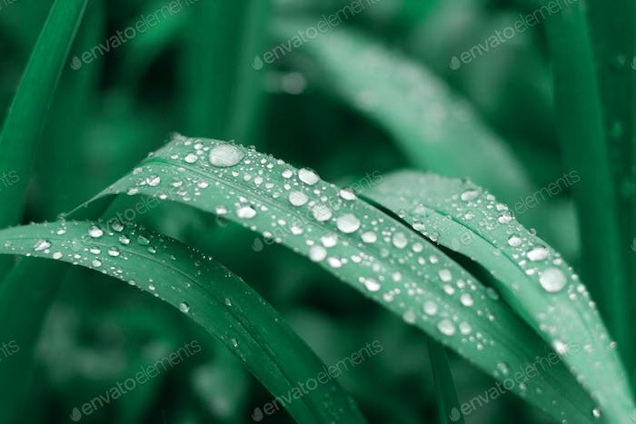 Lush green natural grass background with water drops