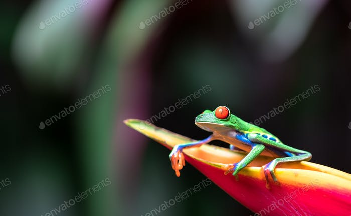 Red-eyed Tree Frog on a Heliconia