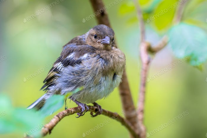 Juvenile Chaffinch looking in camera