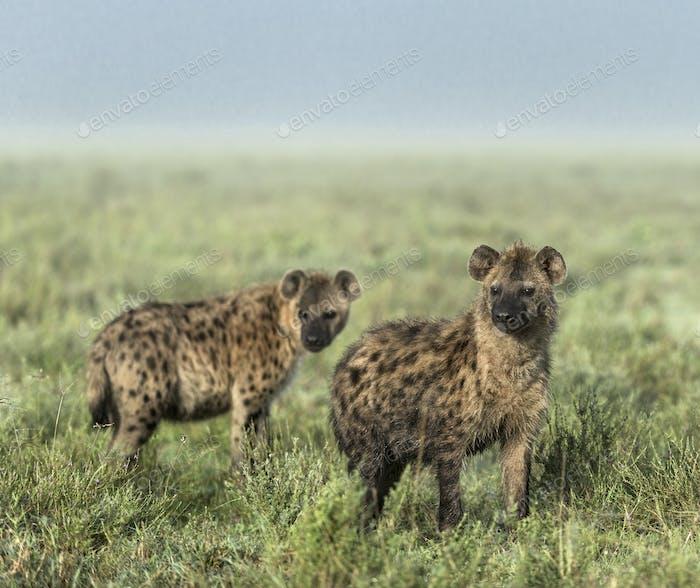 Hyenas looking away in Serengeti National Park